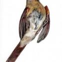 female-cardinal