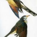 yellowbilled cuckoo