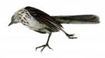 thrush-like bird 2017