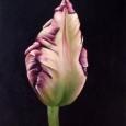 Tulip Hug