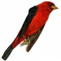 scarlet tanager 2017
