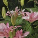 Double Pink Daylily